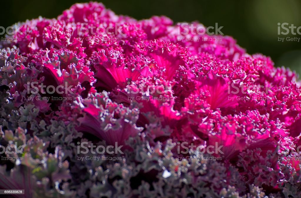 Sidelight on purple cabbage plant stock photo