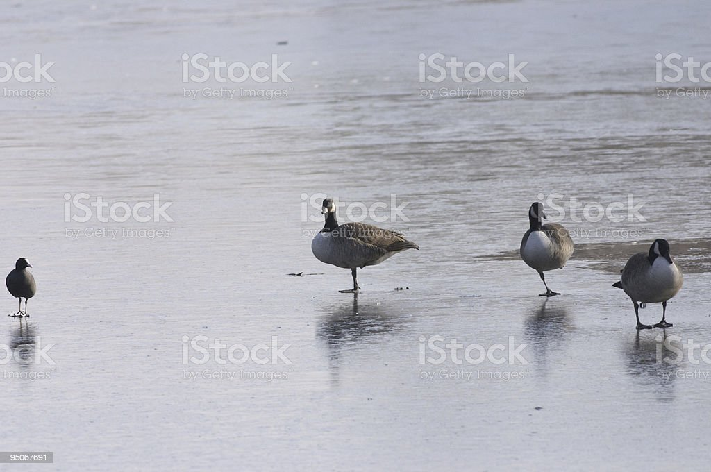 Frozen out geese and coot stock photo