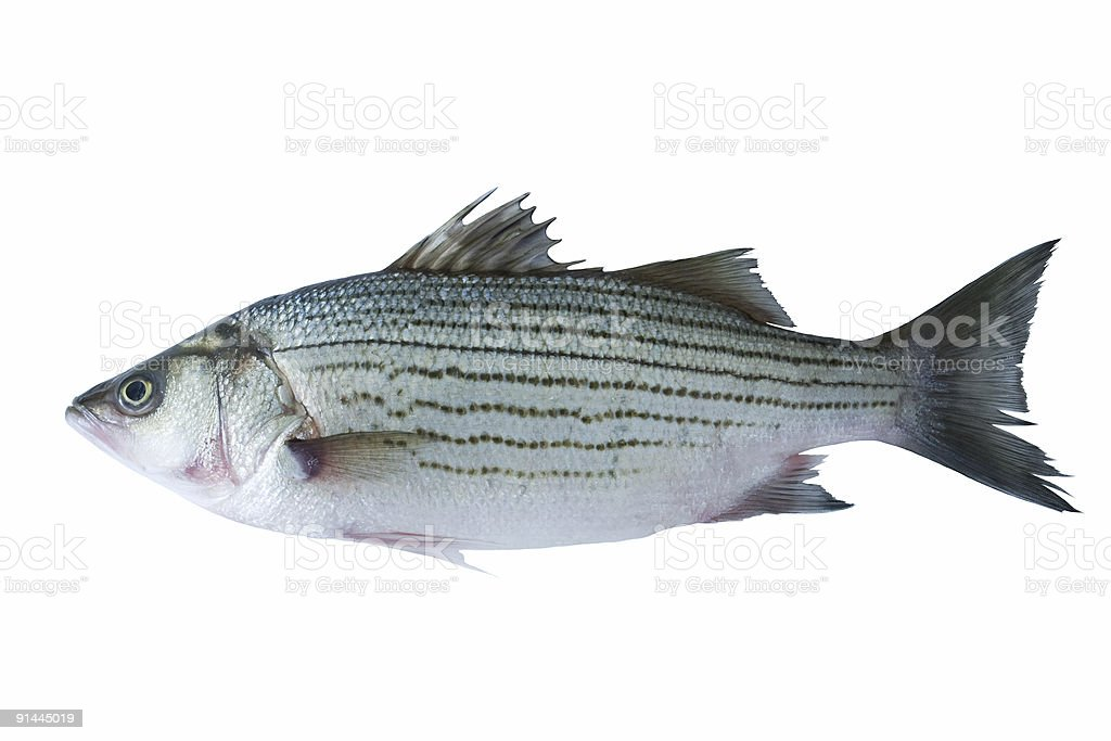 Side-view of a fish on white background royalty-free stock photo
