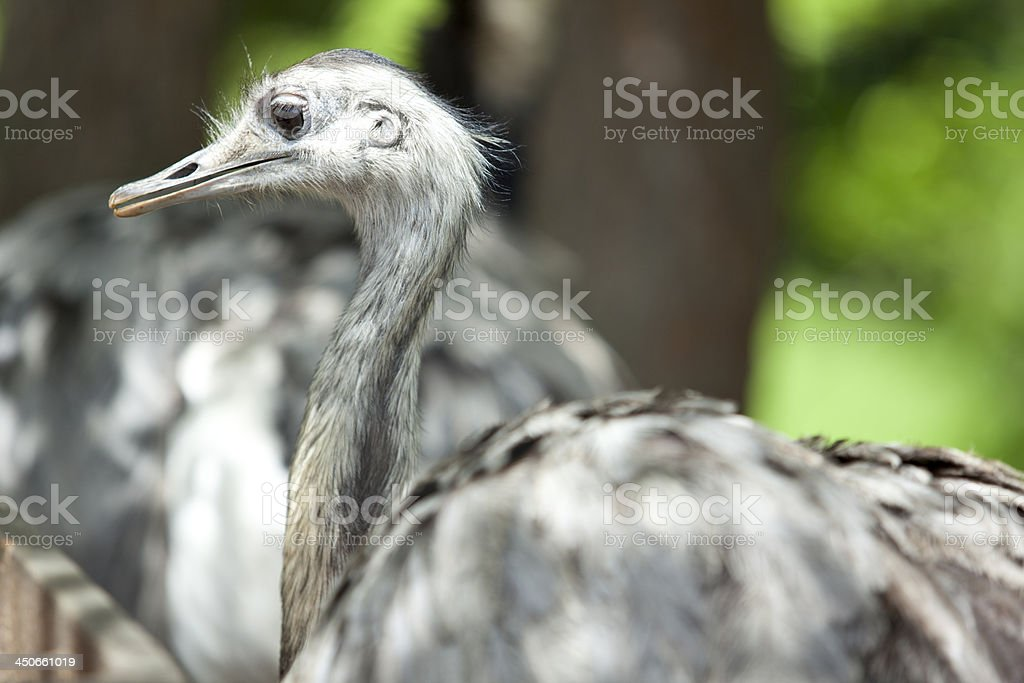 side-view of a greater rhea (Nandu) royalty-free stock photo