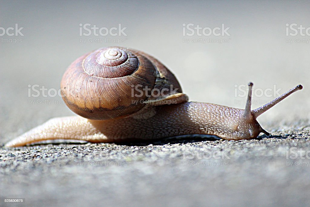 Side-view of Garden Snail Moving on Sidewalk stock photo
