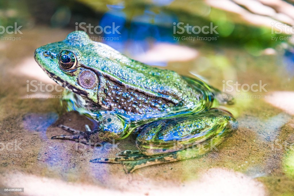 sideview of green frog royalty-free stock photo