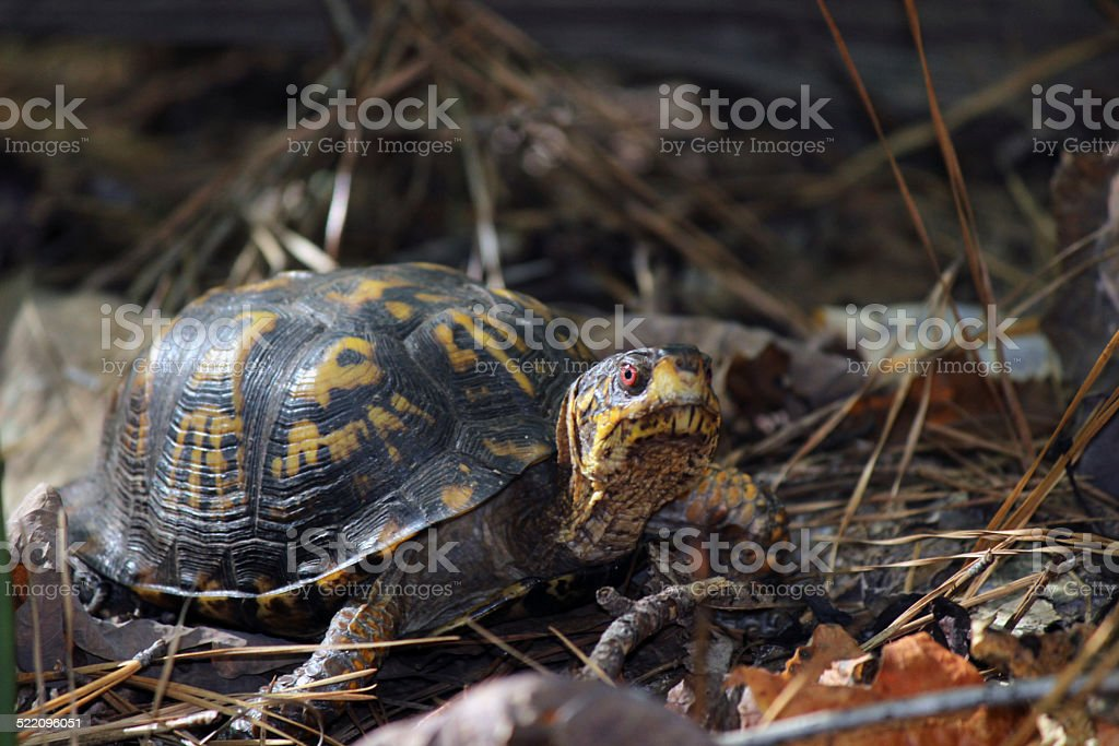 Side-view of Red-eyed Eastern Box Turtle stock photo