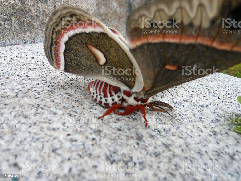 sideview of regal moth royalty-free stock photo