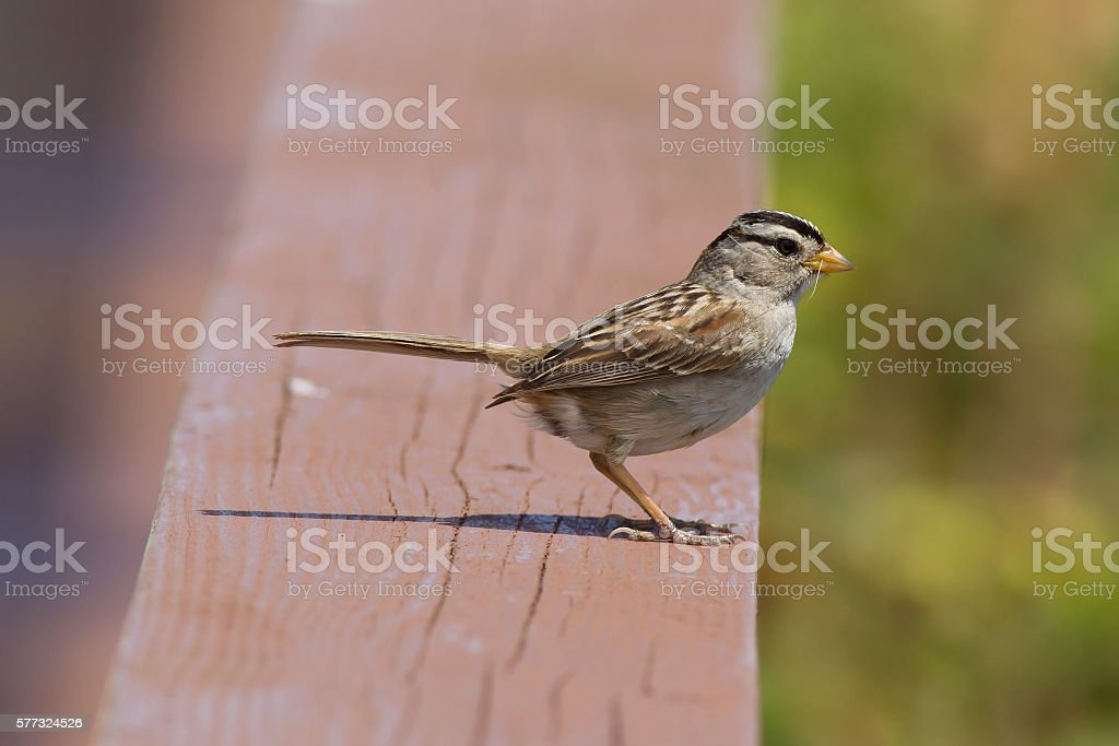 Sideview of white crowned sparrow. stock photo