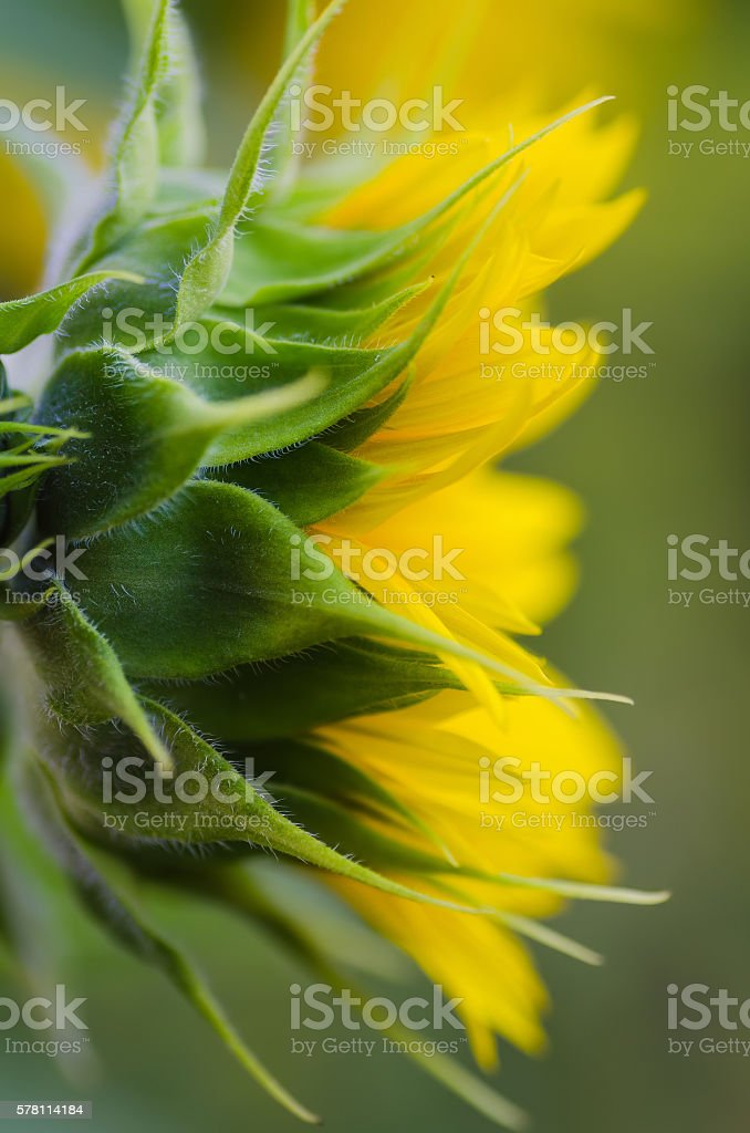 sideview of Yellow sunflower stock photo