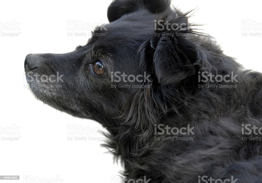 sideways black dog portrait stock photo