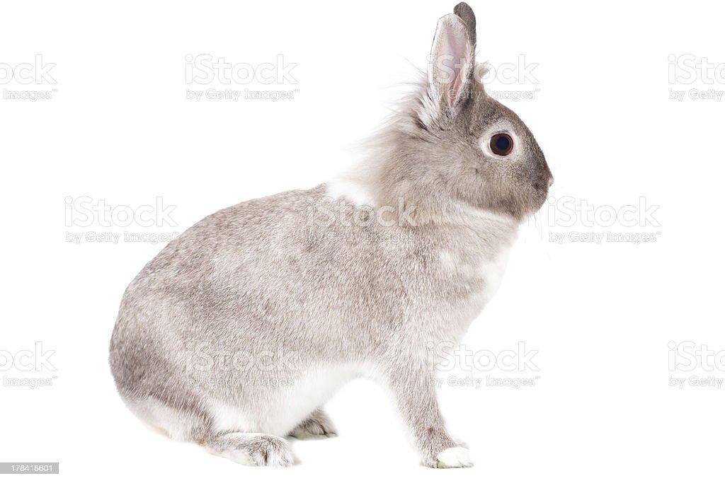 Sideways portrait of a fluffy alert bunny rabbit royalty-free stock photo