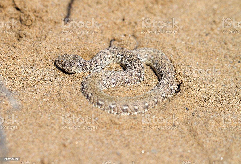 Sidewinder, Namib desert, Namibia stock photo