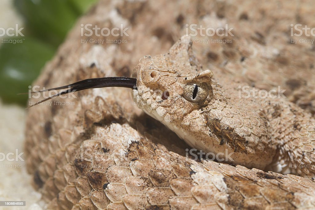 Sidewinder Rattlesnake Profile with Forked Tongue stock photo
