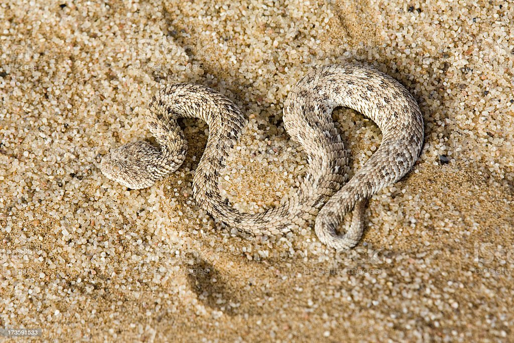 Sidewinder Snake stock photo