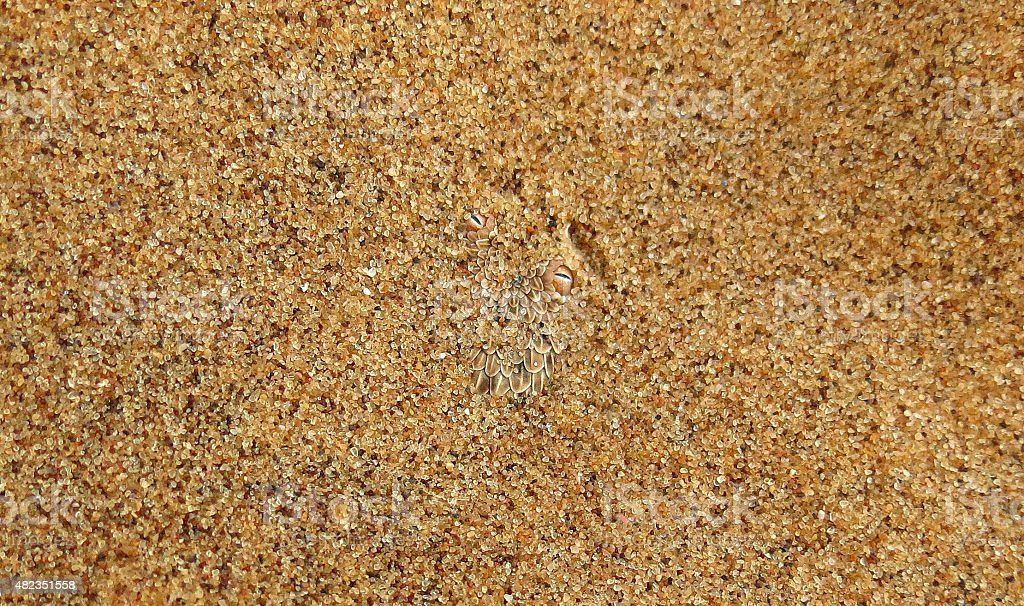 Sidewinding snake under the Namib sand stock photo