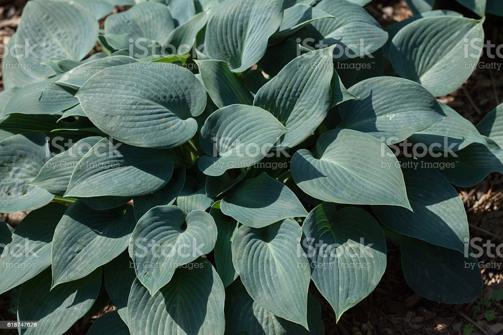 Siebold's hosta (Hosta sieboldiana). stock photo