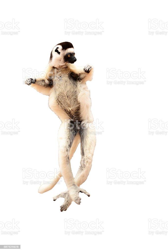 Sifaka, Propithecus verreauxi, Madagascar's lemur dancing isolated on white background stock photo