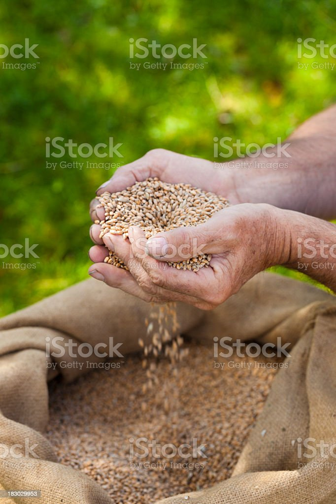 Sifting wheat grains with hands royalty-free stock photo
