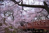 Sightseeing of Takato's cherry tree