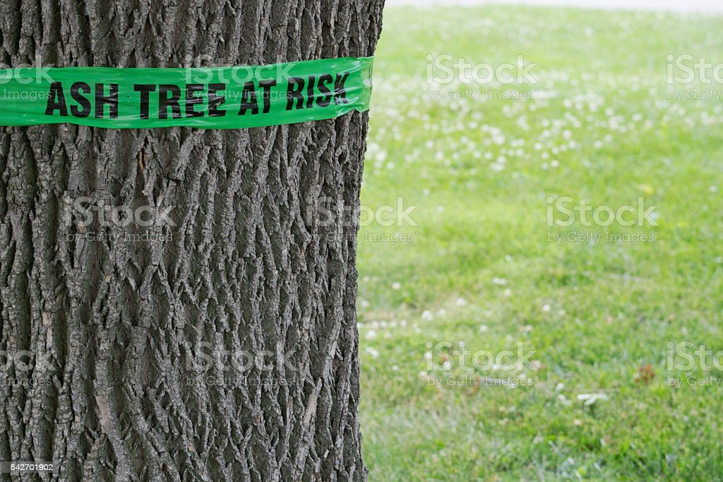Sign on a tree warning of emerald ash borer damage stock photo