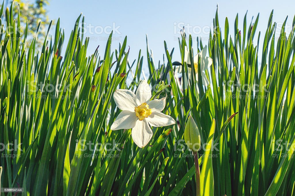 Signle narcissus flower foto de stock royalty-free