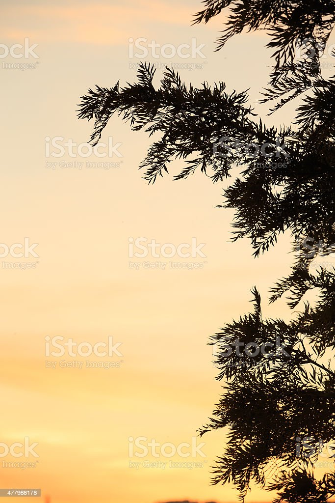 Sihouette view of Pinoideae tree (christmas tree) royalty-free stock photo