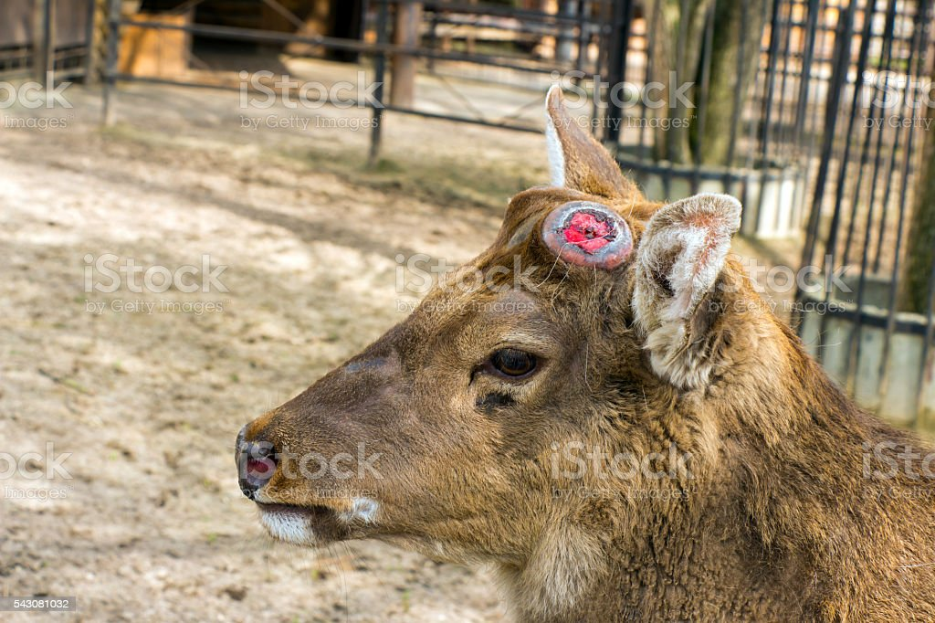 Sika deer brown without horns (dropped antlers) and sad eyes stock photo