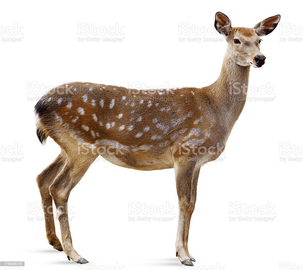 Sika Deer, Cervus nippon stock photo