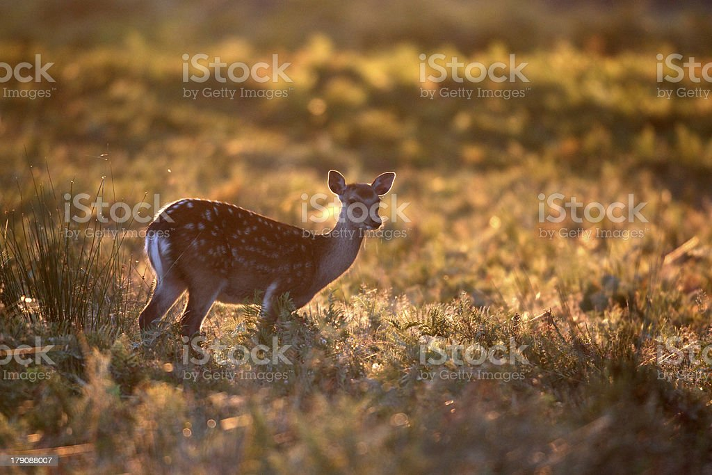 Sika deer, Cervus nippon royalty-free stock photo