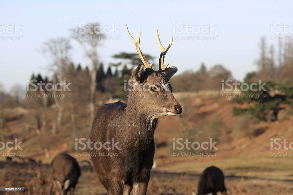 Sika Deer in Kent, England stock photo