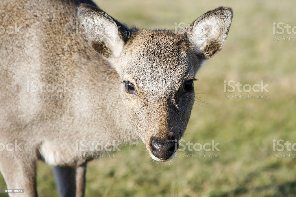 Sika Deer in Kent, England royalty-free stock photo