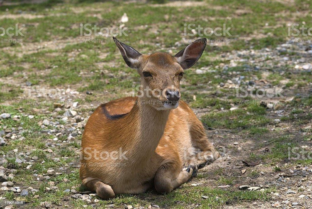 Sika deer, Nara, Japan royalty-free stock photo