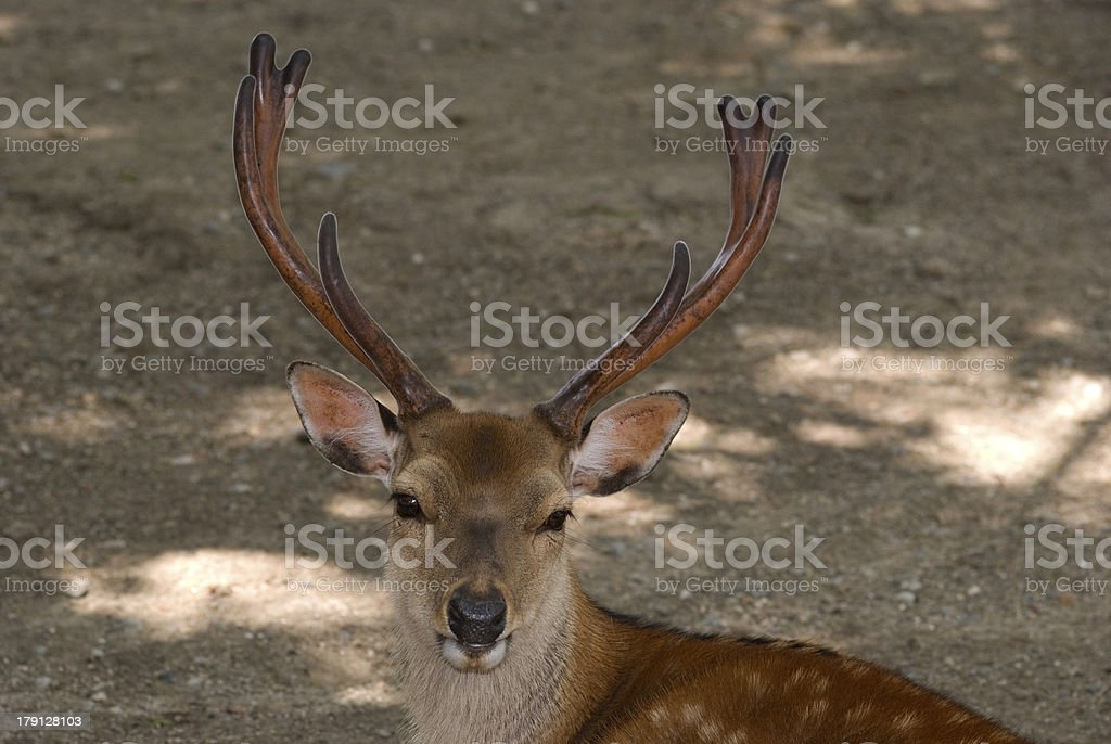 Sika deer, Nara, Japan royalty-free stock photo