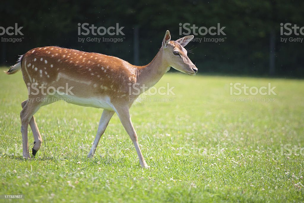 Sika deer on meadow royalty-free stock photo