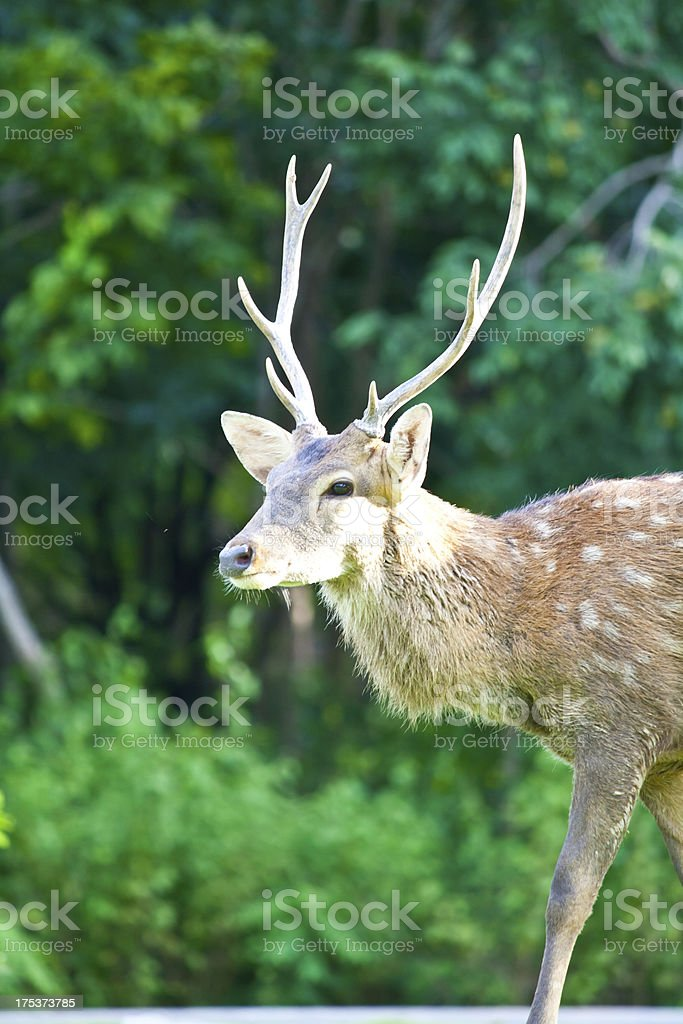 Sika Deer royalty-free stock photo