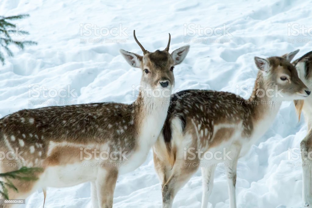Sika deer with blurry backgound in forrest in winter stock photo