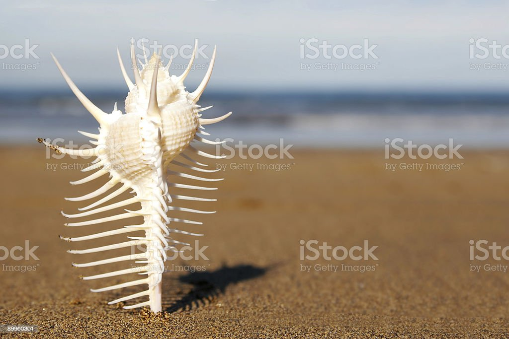 Siky Seashell royalty-free stock photo