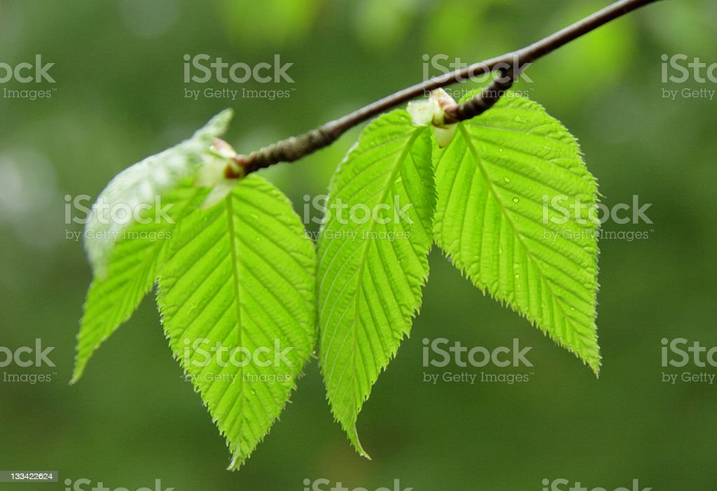 Silent Birch stock photo