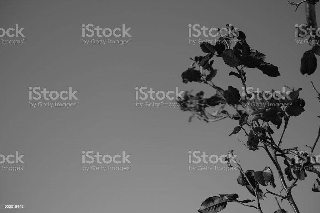 Silhouette, noir et blanc de la rose photo libre de droits