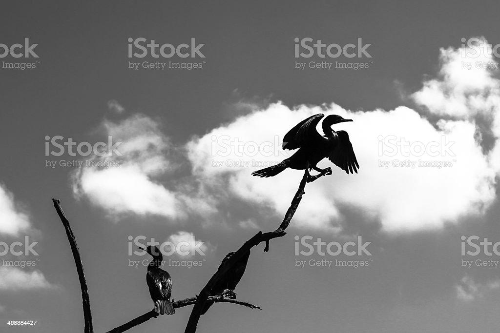 Silhouette buzzard stock photo