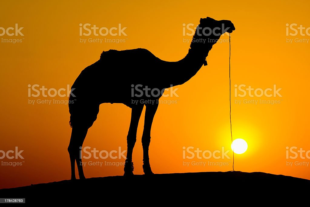 Silhouette camel at sunset , India. royalty-free stock photo