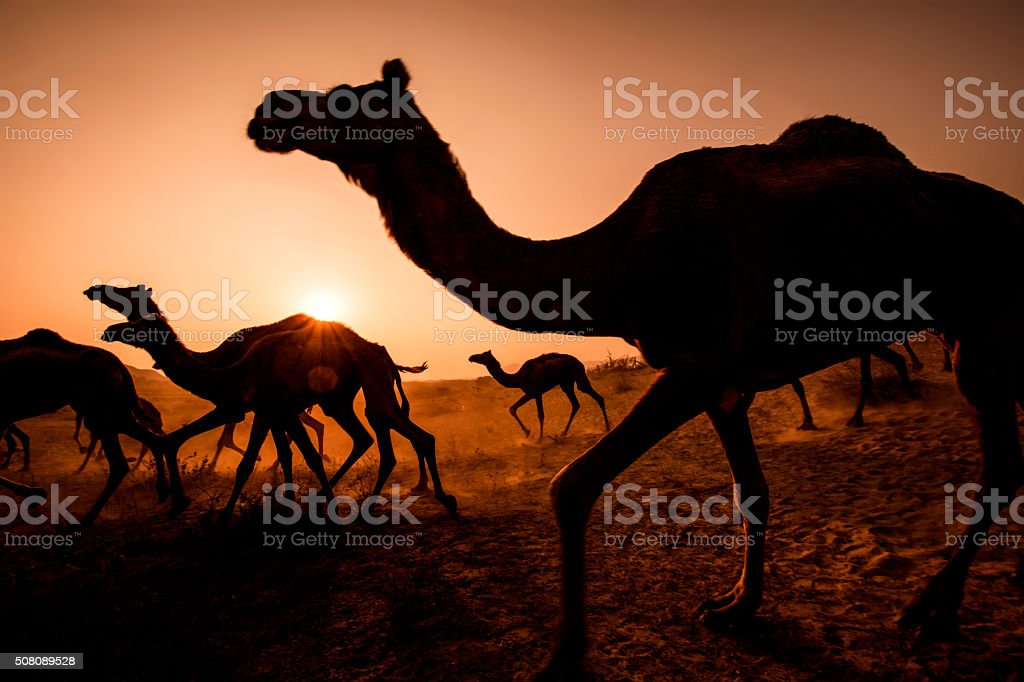 Silhouette Camel stock photo