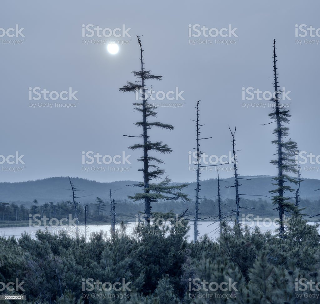 silhouette dry old, lake water,  moonlit night stock photo