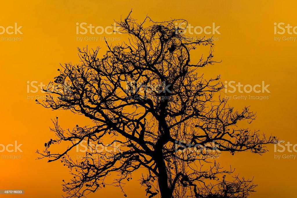 Silhouette Dry Tree At Sunset royalty-free stock photo