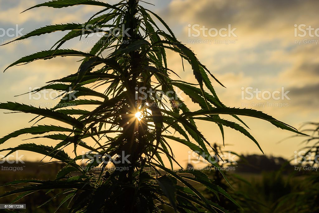 Silhouette leaves of marijuana stock photo