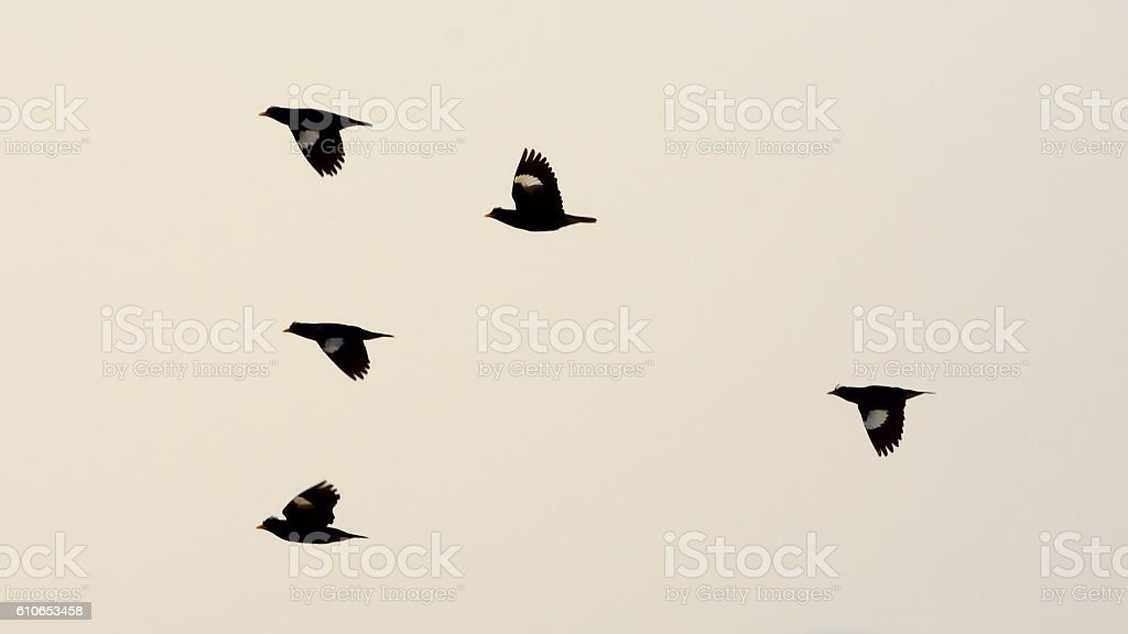 silhouette many bird flying in the sky stock photo