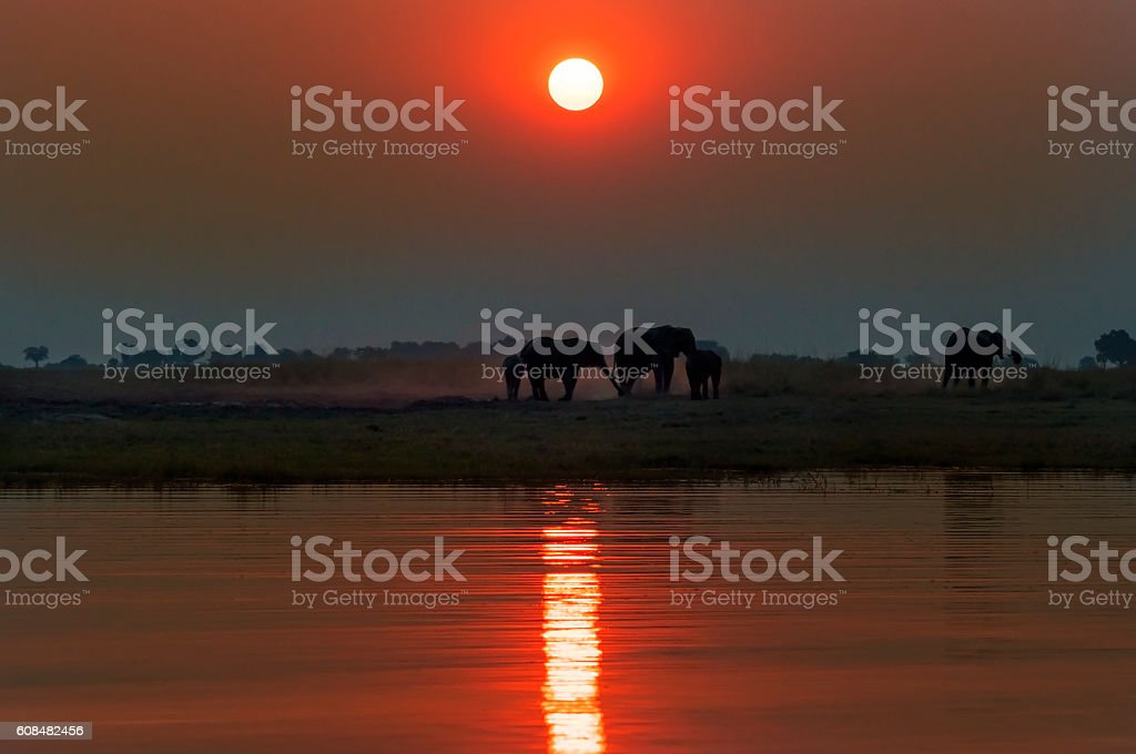 Silhouette of a herd of elepanhts at sunset in in Botswana stock photo
