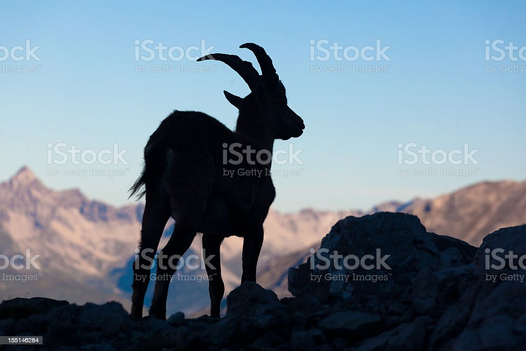 silhouette of a ibex in the lechtaler alps royalty-free stock photo