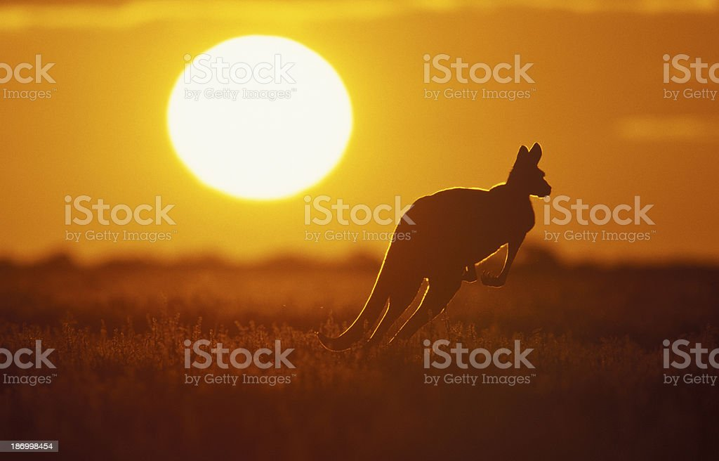 Silhouette of a kangaroo in the field at sunset stock photo