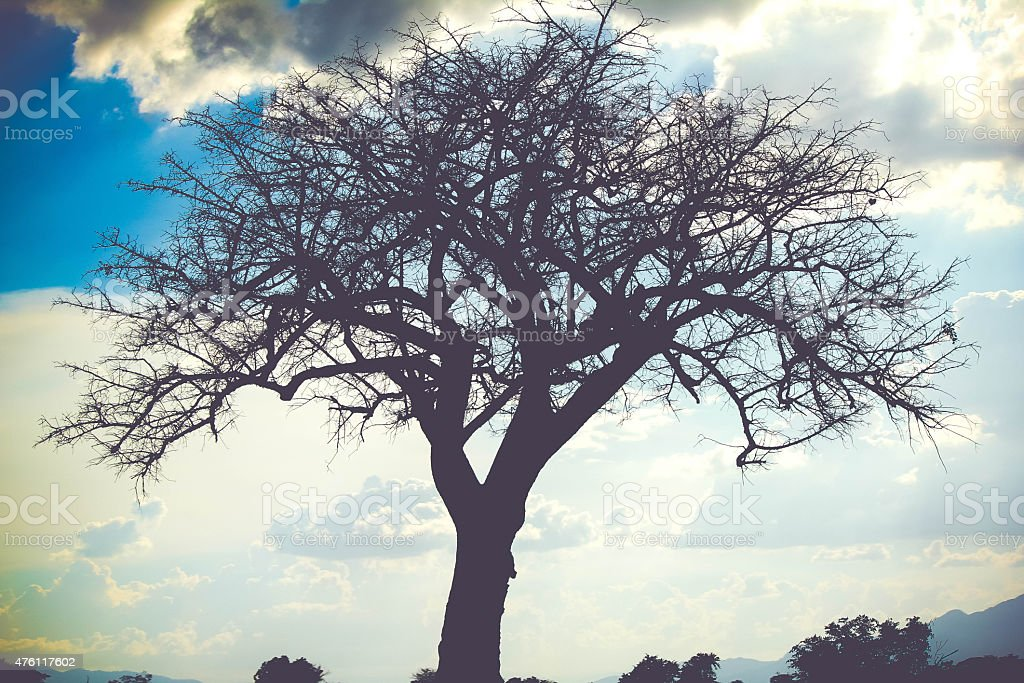 Silhouette of a large tree in Africa stock photo