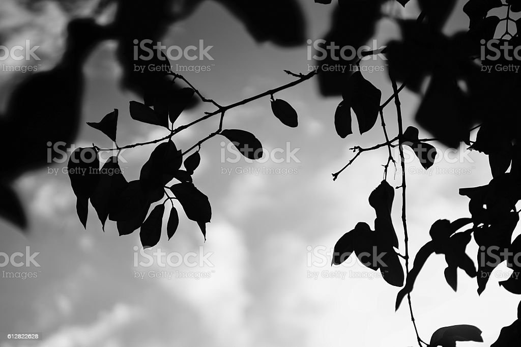 silhouette of a leave and branch of tree stock photo