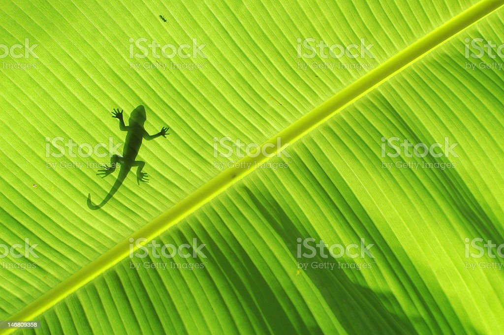 Silhouette of a lizard royalty-free stock photo