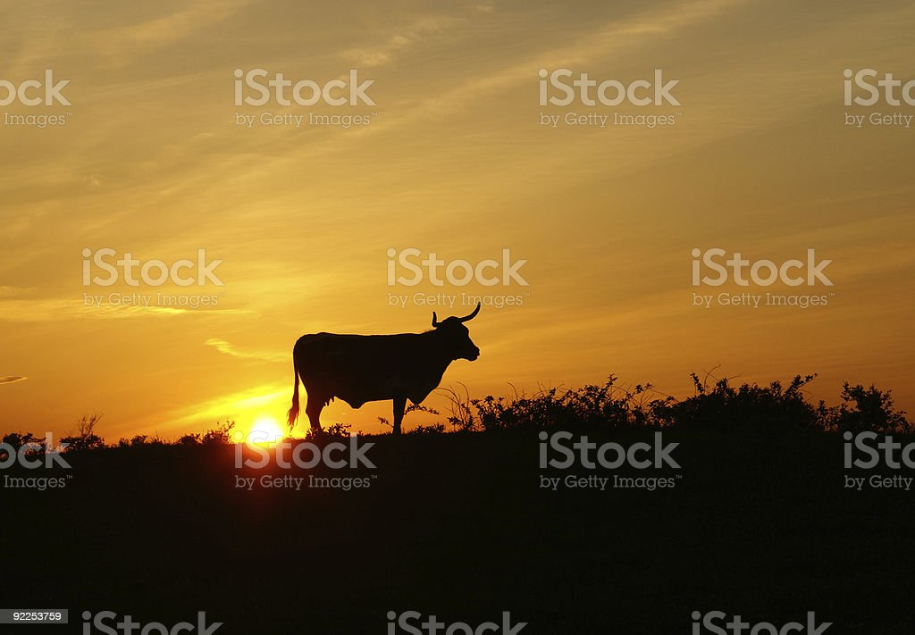 Silhouette of a Longhorn steer stock photo